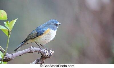 Orange-flanked bush robin - Red-flanked bluetail or...