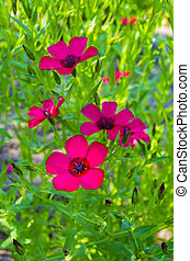red flax flowers