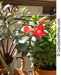 Red Flower -Adenium 1