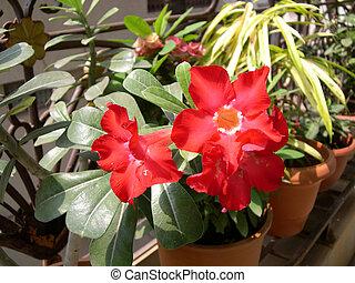 Red Flower -Adenium 3