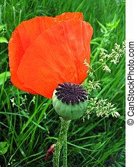 flower and bud poppy