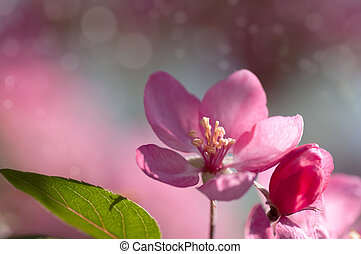 red flower Apple tree in blossom closeup background
