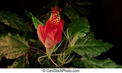 Red Flower Blooming - Isolated red flower blooming timelapse