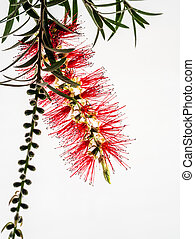 Red Flower Bottle Brush, Callistemon citrinus