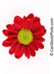 flower bud - Red flower bud shot on white