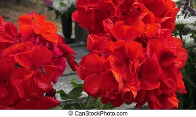 Red flower. Flowers on the grave. (Pelargonium grandiflorum...