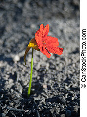 flower from the ashes - red flower from the ashes