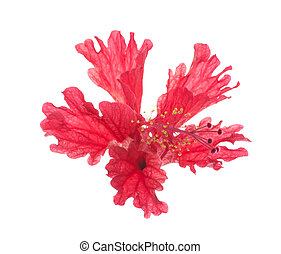 red flower hibiscus isolated on white background