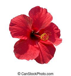 Hibiscus rosa sinensis - Red flower- Hibiscus rosa sinensis,...
