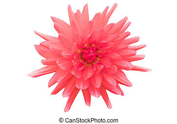 Red flower isolated on white background with clipping path by Macro lens .