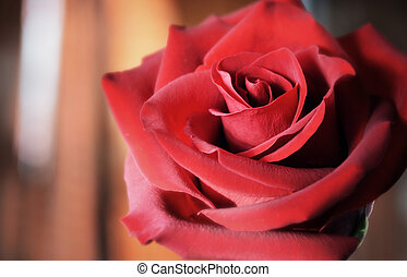 Red flower of a rose