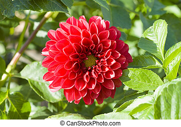 red flower of dahlia in nature