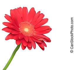 Red flower on white background. Natural elegance illustration design with blooming gerbera
