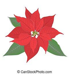 Red flower poinsettia on white