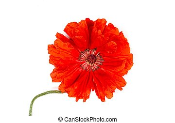 red flower poppy isolated on white background close-up top view