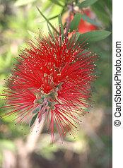 red flower - red bottle brush flower