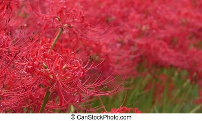 Red flower wet with rain - Red spider lily flower wet with...