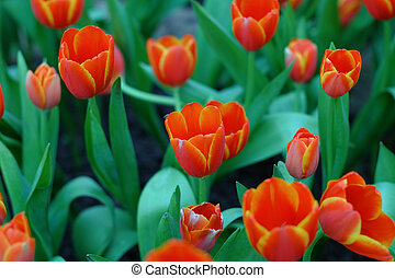 Red flower with tulips 1