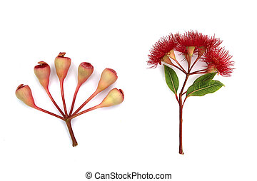 Red flowering Eucalyptus in bloom with Gum-nuts on white - ...