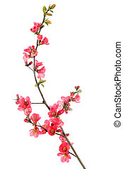 red flowering quince - elegant japanese quince branch ...