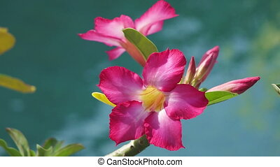 Red flowers Adenium against the background of blue water,
