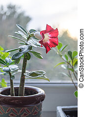 Red flowers blooming on succulent tree in houme pot - Red...