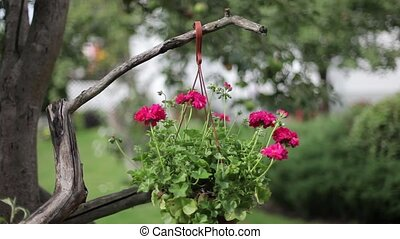 Red flowers in a pot on a tree swaying in the wind on a...