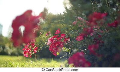 Red flowers in the flowerbed in summer park. HD video with...