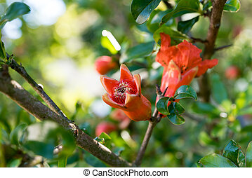 Red flowers of the Melograno tree