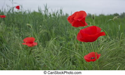 Red flowers of the wild poppy