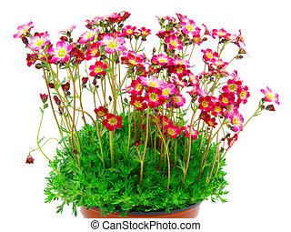 red flowers, on isolated background
