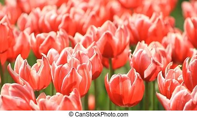 Red flowers tulips blossom