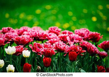 Red Flowers Tulips In Garden