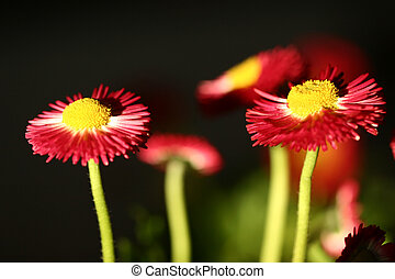 flowers - red flowers with black background
