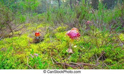 Red fly agaric in autumn forest, time-lapse with dolly
