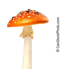 Red fly agaric mushroom on white background