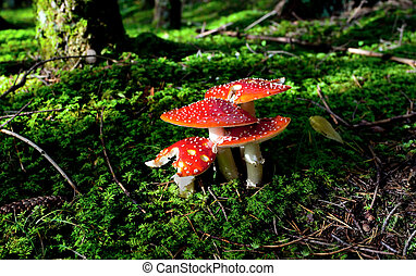 fly agaric mushrooms in forest