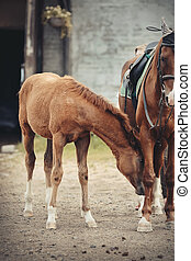 Red foal sporting breed with a mare. Small horse.
