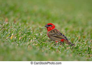 Red Fody (Foudia madagascariensis) sitting in the grass on ...