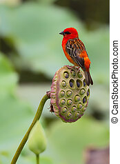 Red Fody (Foudia madagascariensis) sitting on the fruit of ...