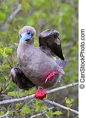 Red-footed booby on Genovesa island, Galapagos National...