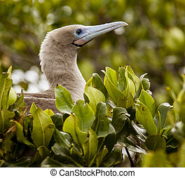 Red Footed Booby sitting in leaves waiting