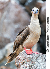 Red Footed Booby Vertical