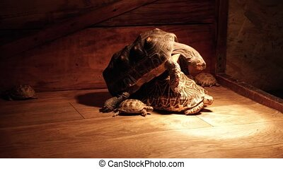 Red-footed Tortoise and indian star tortoise. Turtles...