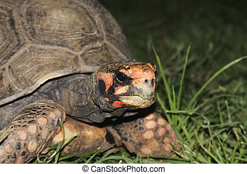 Red Footed Tortoise (Geochelone carbonaria) native to South...