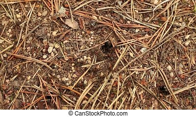 red forest ants build an anthill close to