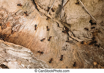 Red Forest Ants (Formica Rufa) On A Fallen Old Tree Trunk. Ants Moving In Anthill