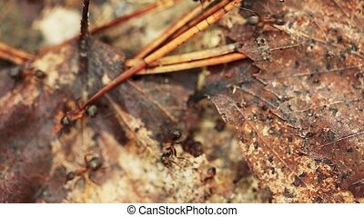 Red Forest Ants Formica Rufa On A Fallen Old Tree Trunk....