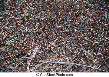 Red forest ants