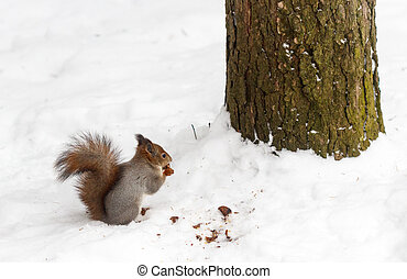 Red forest squirrel. Selective focus